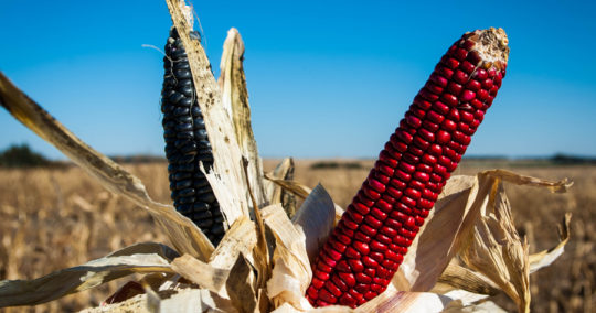 ponca_blue_red_corn